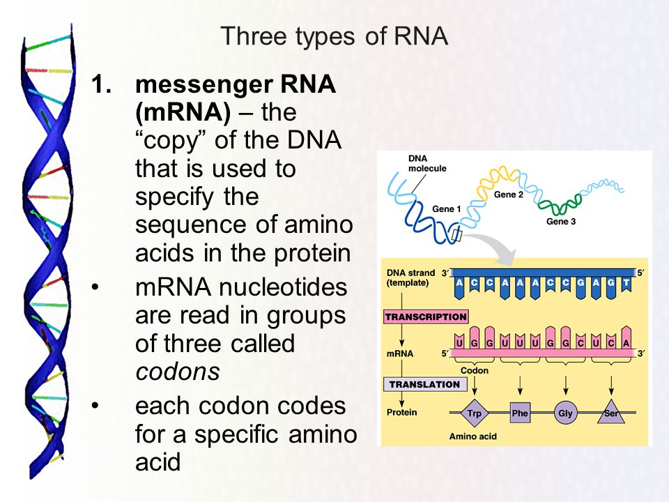 Three types of RNA 1. messenger RNA (mRNA) – the copy of the DNA that is used to specify the sequence of amino acids in the protein.