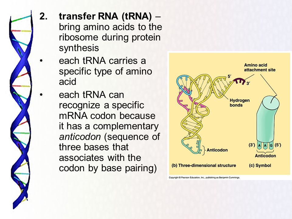 2. transfer RNA (tRNA) – bring amino acids to the ribosome during protein synthesis