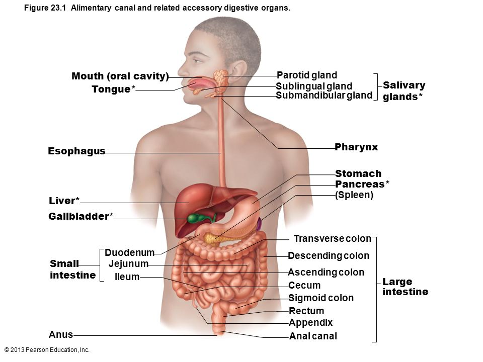 Großzügig Anatomie Und Physiologie Färbungsarbeitsbuch 11 1 Bilder ...