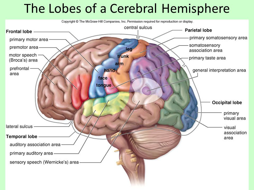 The Lobes of a Cerebral Hemisphere