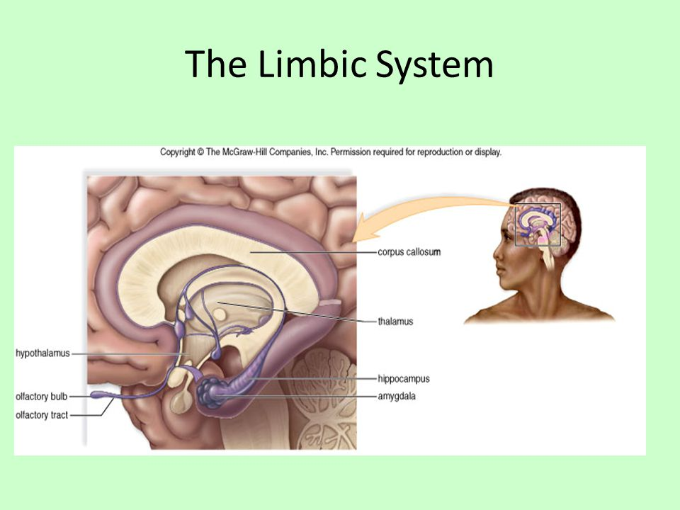 The Limbic System Complex network of tracts and nuclei