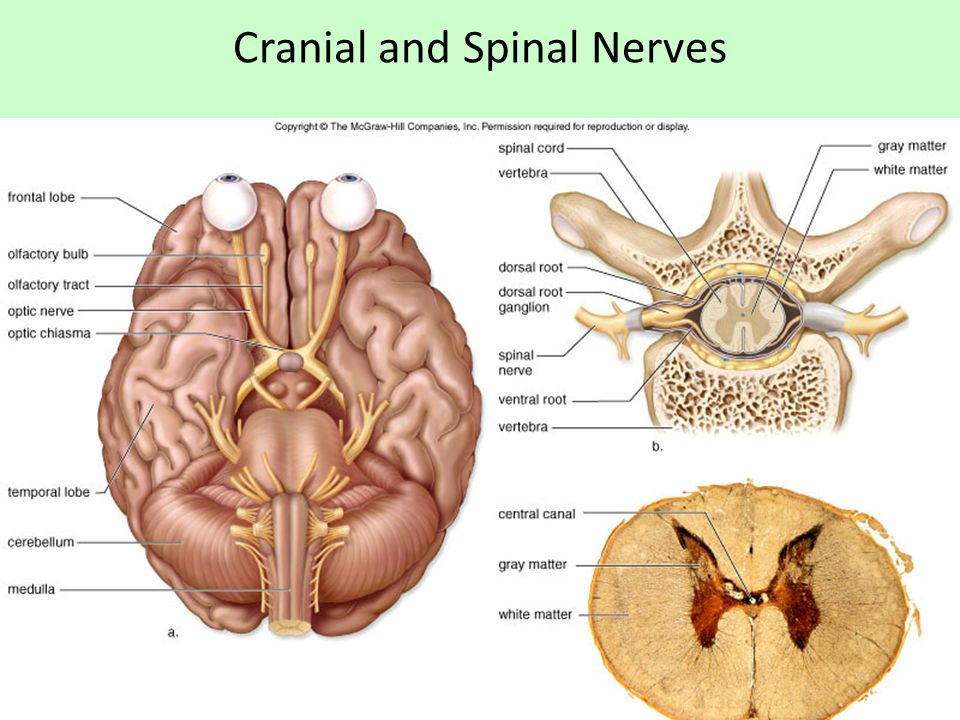 Cranial and Spinal Nerves
