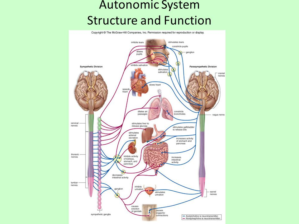 Autonomic System Structure and Function
