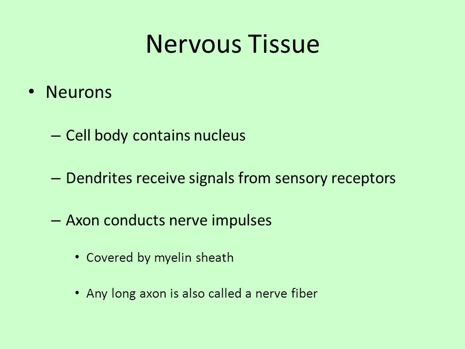 Nervous Tissue Neurons Cell body contains nucleus