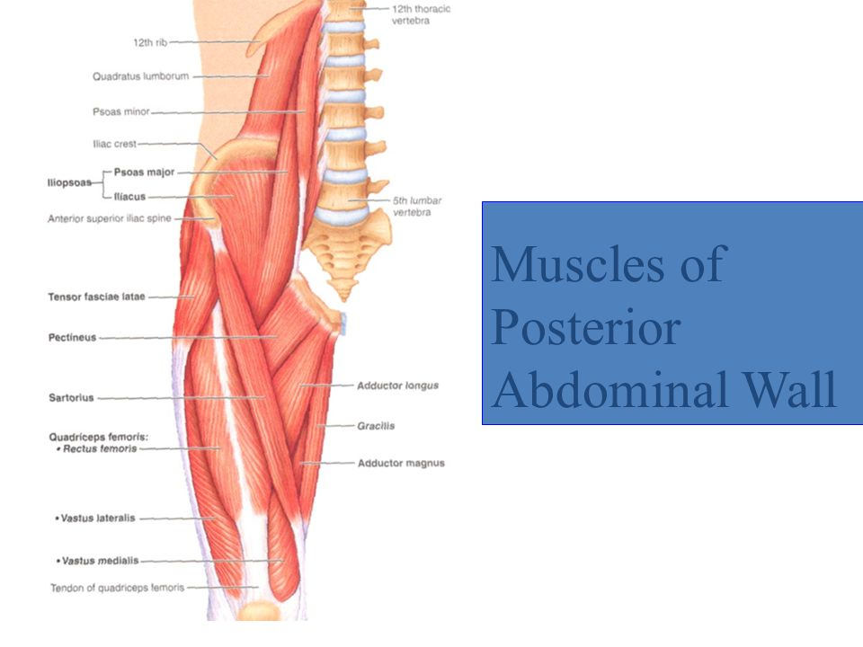 Abdomen ppt video online download 19 muscles of posterior abdominal wall ccuart Images