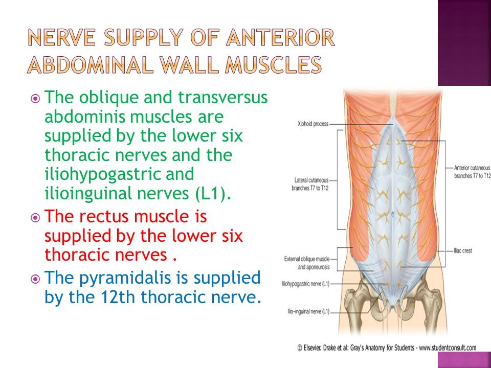 Blood supply of the abdomen ppt video online download nerve supply of anterior abdominal wall muscles ccuart Images