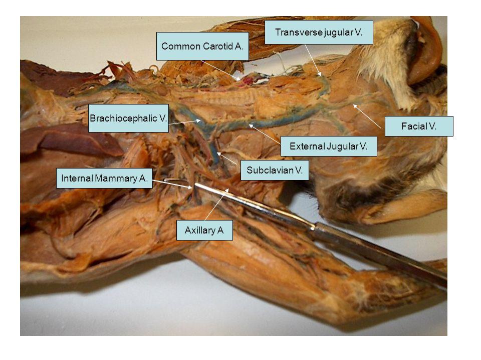 Transverse jugular V. Common Carotid A. Brachiocephalic V. Facial V. External Jugular V. Subclavian V.
