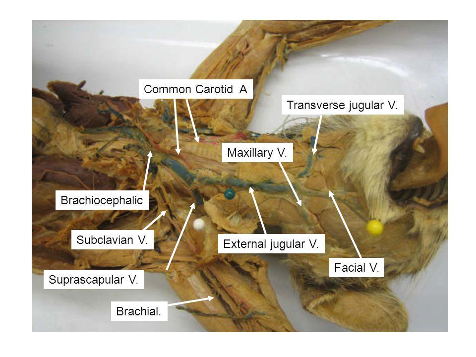 Common Carotid A Transverse jugular V. Maxillary V. Brachiocephalic. Subclavian V. External jugular V.