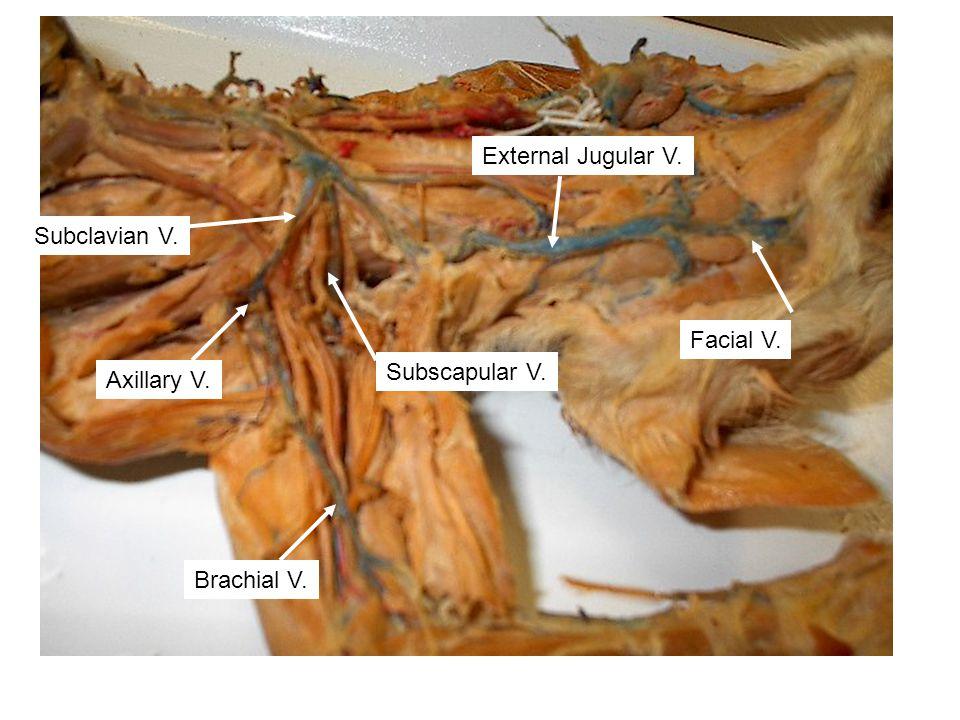 External Jugular V. Subclavian V. Facial V. Subscapular V. Axillary V. Brachial V.