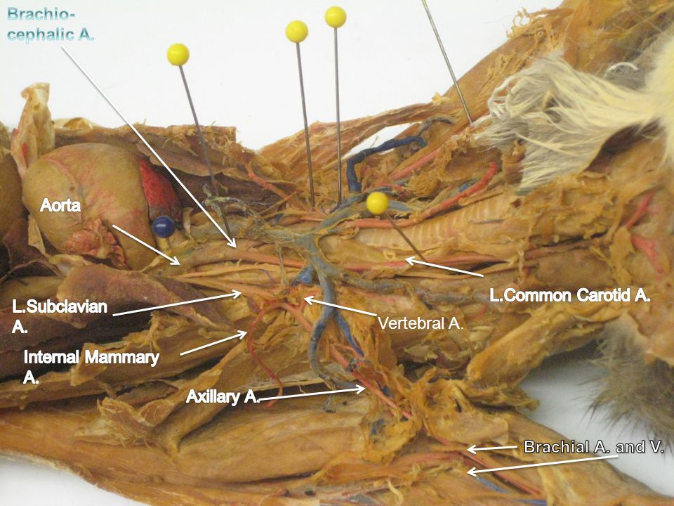 Cat Vessels Brachio-cephalic A. Aorta L.Common Carotid A.