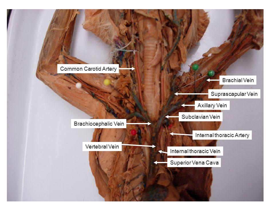 Common Carotid Artery Brachial Vein. Suprascapular Vein. Axillary Vein. Subclavian Vein. Brachiocephalic Vein.