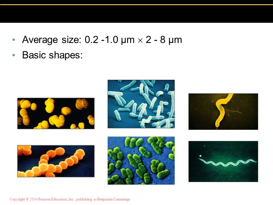Average size: 0.2 -1.0 µm  2 - 8 µm Basic shapes:
