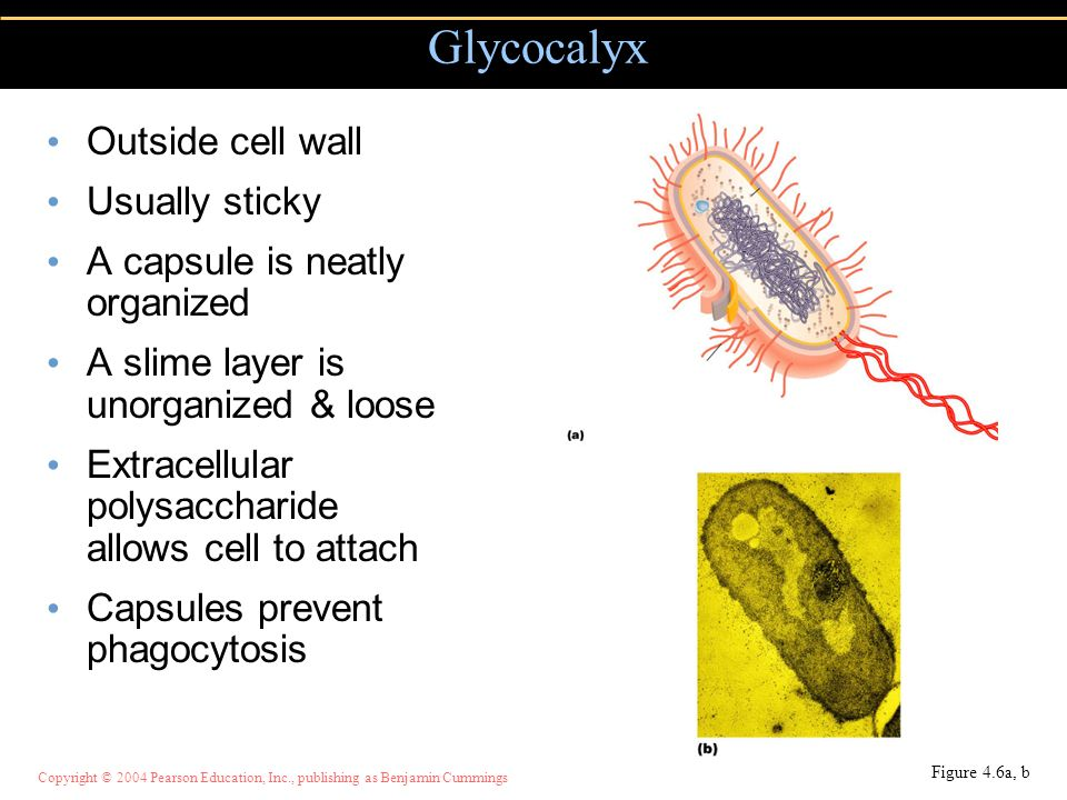 Glycocalyx Outside cell wall Usually sticky