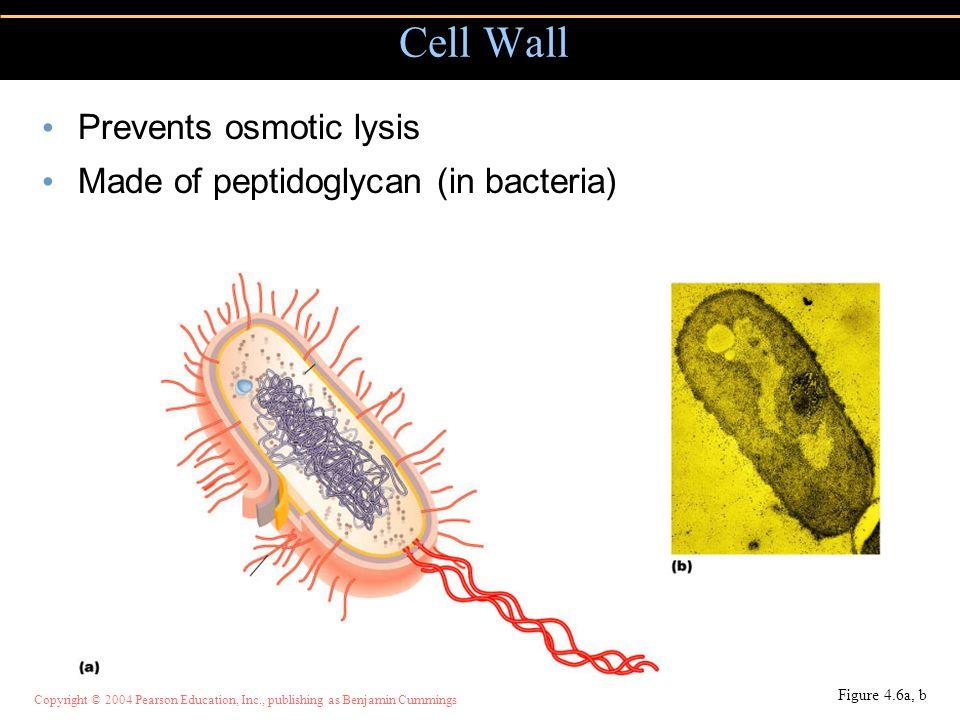 Cell Wall Prevents osmotic lysis Made of peptidoglycan (in bacteria)