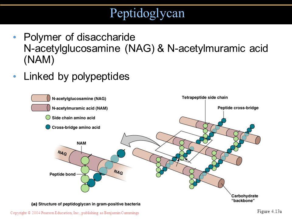 Peptidoglycan Polymer of disaccharide N-acetylglucosamine (NAG) & N-acetylmuramic acid (NAM) Linked by polypeptides.