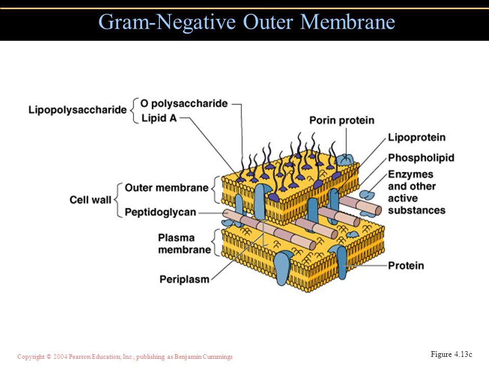 Gram-Negative Outer Membrane