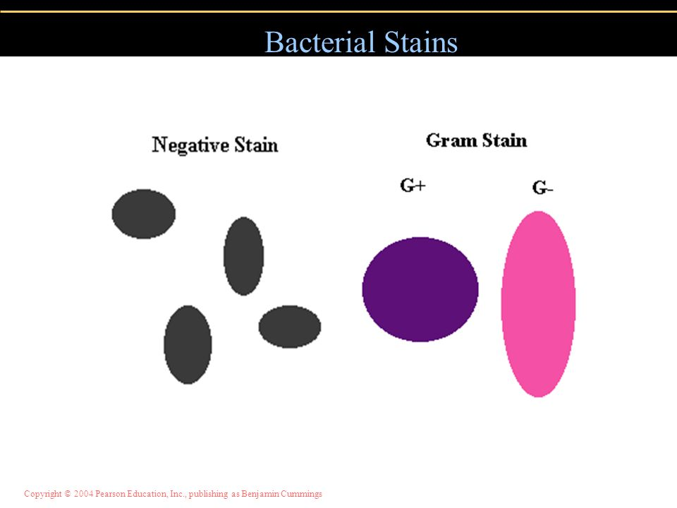 Bacterial Stains Bacteria are not always easy to see under a microscope. In order to see them better, stains are used.