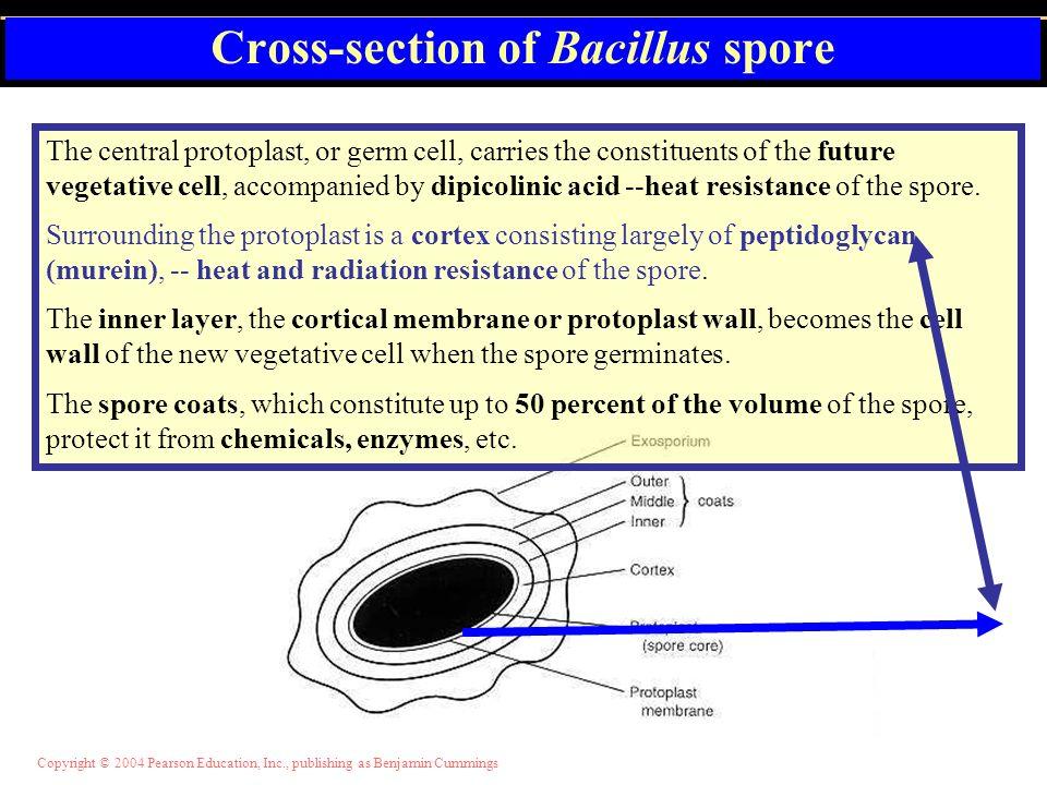 Cross-section of Bacillus spore