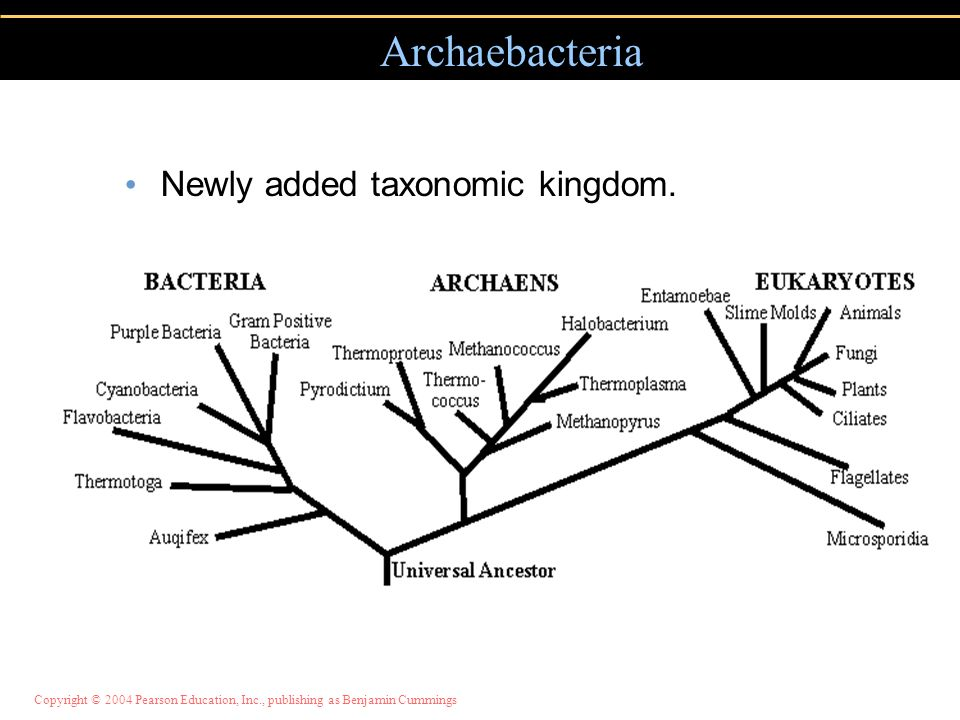 Archaebacteria Newly added taxonomic kingdom.