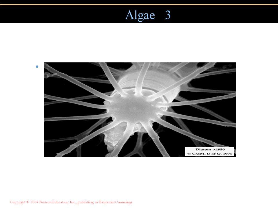Algae 3 Important marine food source.