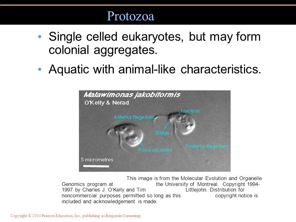 Protozoa Single celled eukaryotes, but may form colonial aggregates.