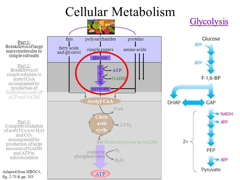 Cellular Metabolism Glycolysis Acetyl CoA Citric acid cycle ATP