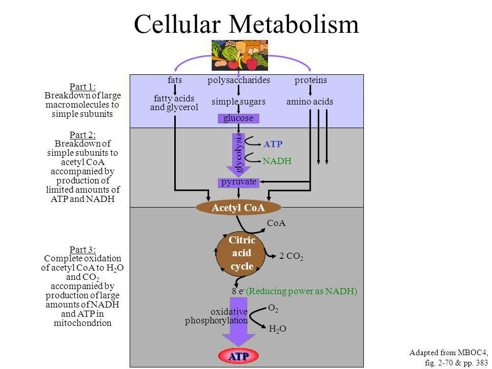 Cellular Metabolism Acetyl CoA Citric acid cycle ATP Part 1: