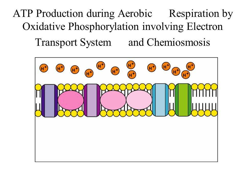 ATP Production during Aerobic Respiration by Oxidative Phosphorylation involving Electron Transport System and Chemiosmosis
