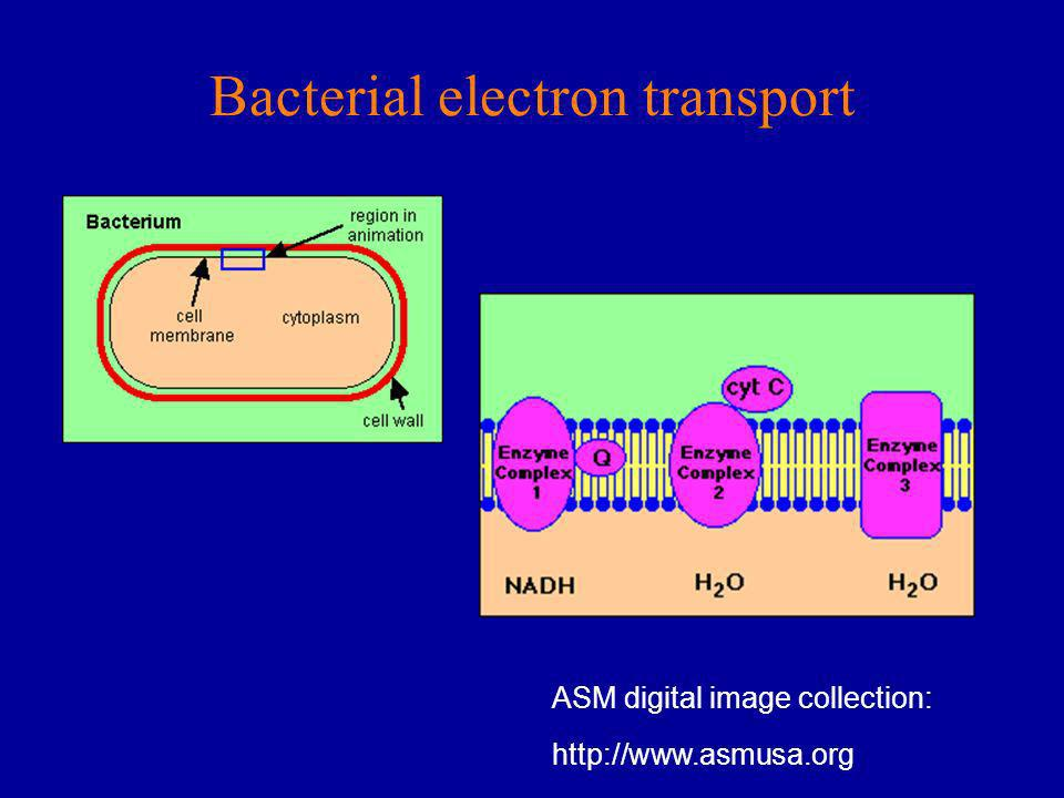 Bacterial electron transport