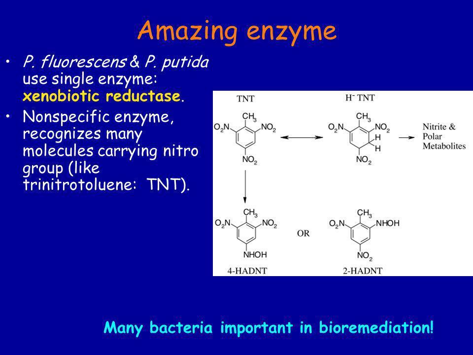 Amazing enzyme P. fluorescens & P. putida use single enzyme: xenobiotic reductase.