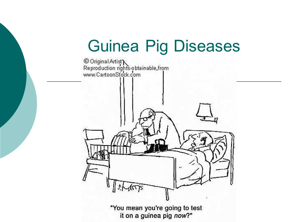 Guinea pig diseases ppt video online download 1 guinea pig diseases ccuart Gallery