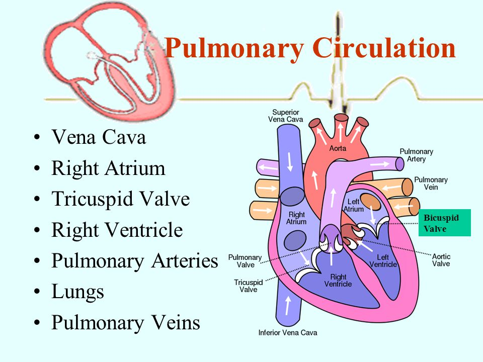 essay on pulmonary circulation Free essay: understanding pulmonary hypertension the human body is a very complex organism composed of different types of systems and pulmonary circulation.