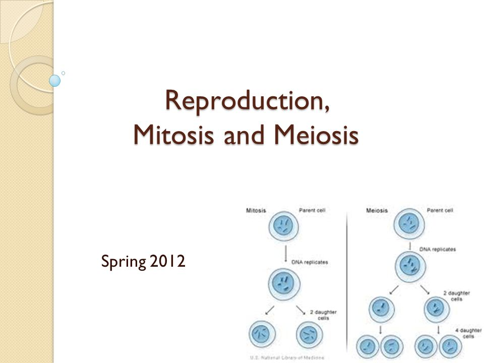 Fission yeast can reproduce asexually following mitosis by peter