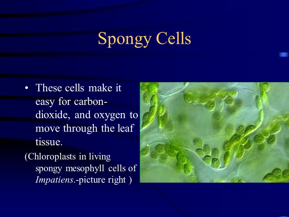 Spongy Cells These cells make it easy for carbon-dioxide, and oxygen to move through the leaf tissue.
