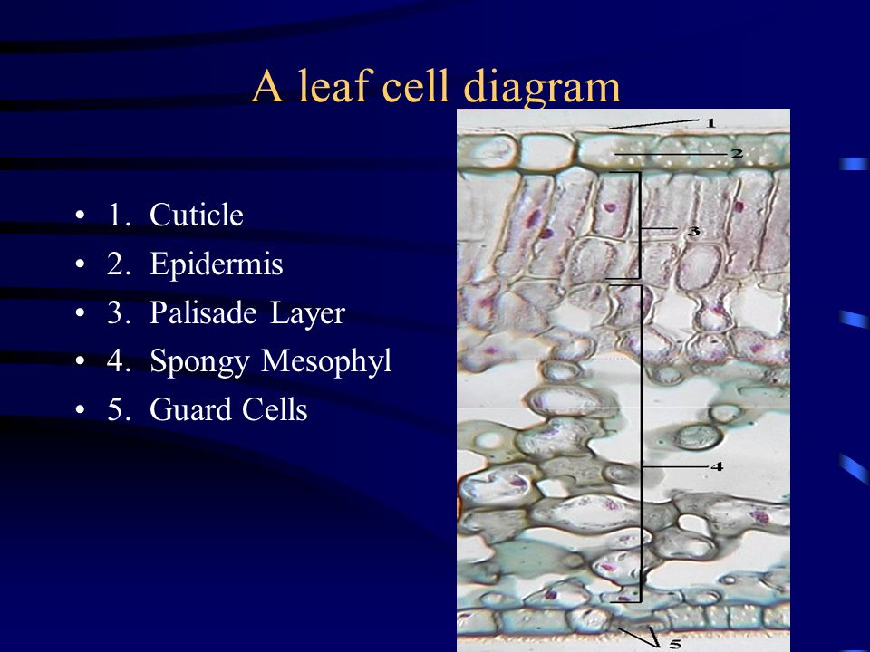 A leaf cell diagram 1. Cuticle 2. Epidermis 3. Palisade Layer