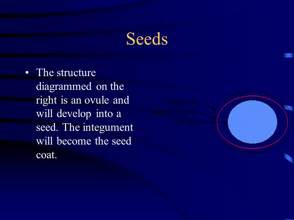 Seeds The structure diagrammed on the right is an ovule and will develop into a seed.