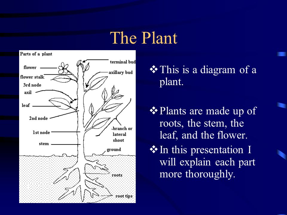 The Plant This is a diagram of a plant.