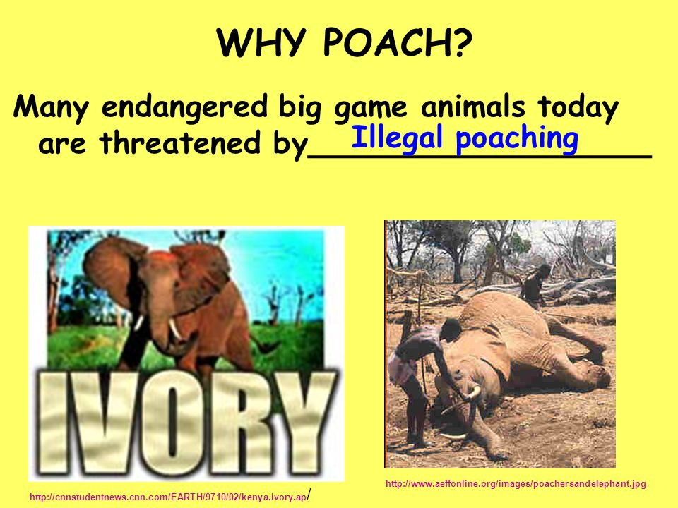 WHY POACH Many endangered big game animals today are threatened by__________________. Illegal poaching.