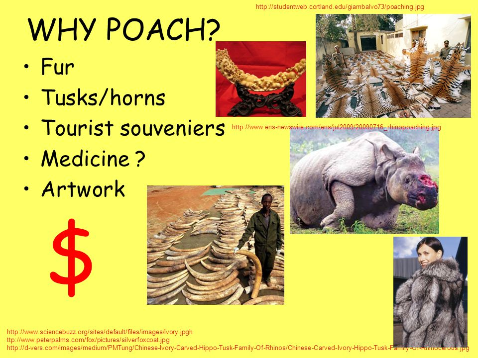 $ WHY POACH Fur Tusks/horns Tourist souveniers Medicine Artwork