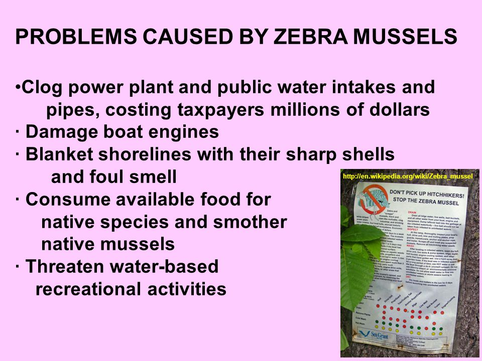 PROBLEMS CAUSED BY ZEBRA MUSSELS