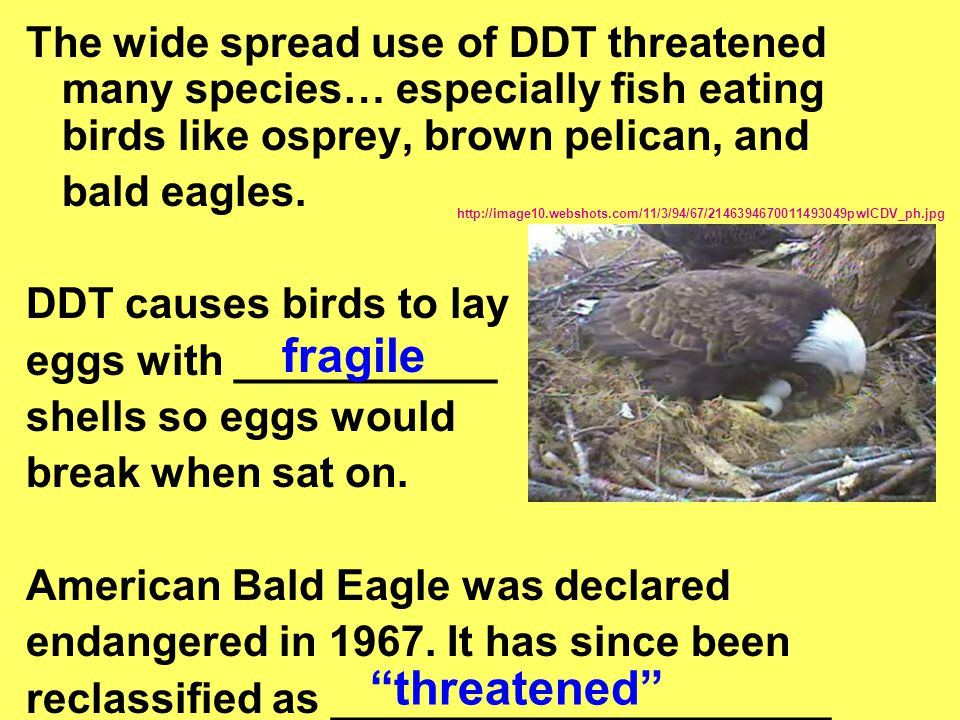 The wide spread use of DDT threatened many species… especially fish eating birds like osprey, brown pelican, and