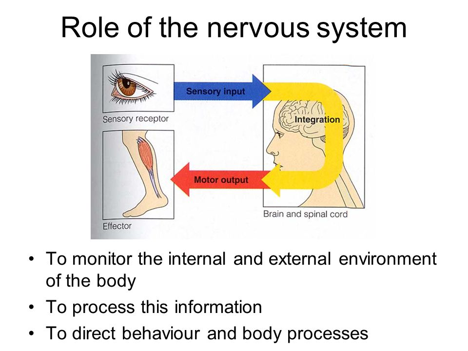 the role of the nervous system in behaviour The nervous system is a complex collection of nerves and specialized cells known as neurons that transmit signals between different parts of the body it is essentially the body's electrical.