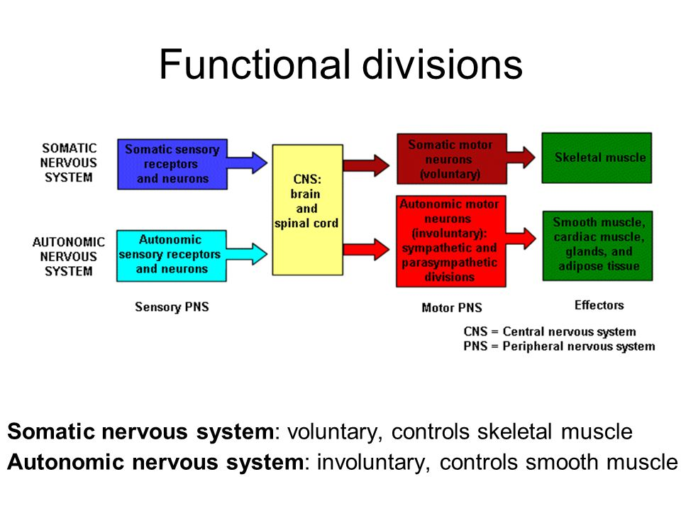 The Nervous System Perry C Hanavan Au D Ppt Video