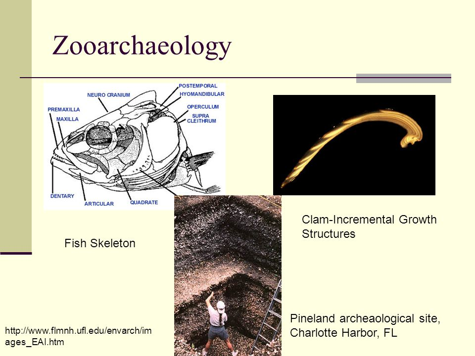 Zooarchaeology Clam-Incremental Growth Structures Fish Skeleton
