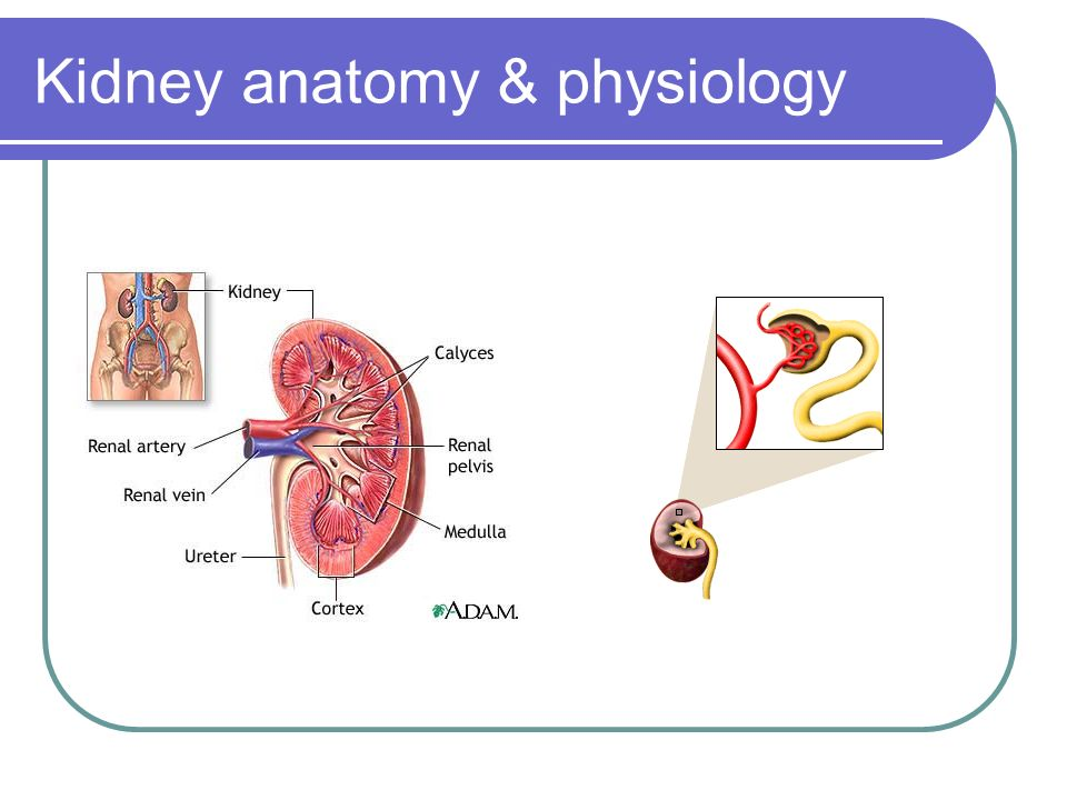 Fancy Renal Anatomy And Physiology Ornament - Human Anatomy Images ...