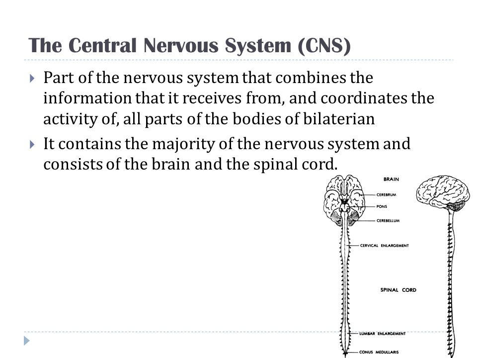 The Central Nervous System (CNS)
