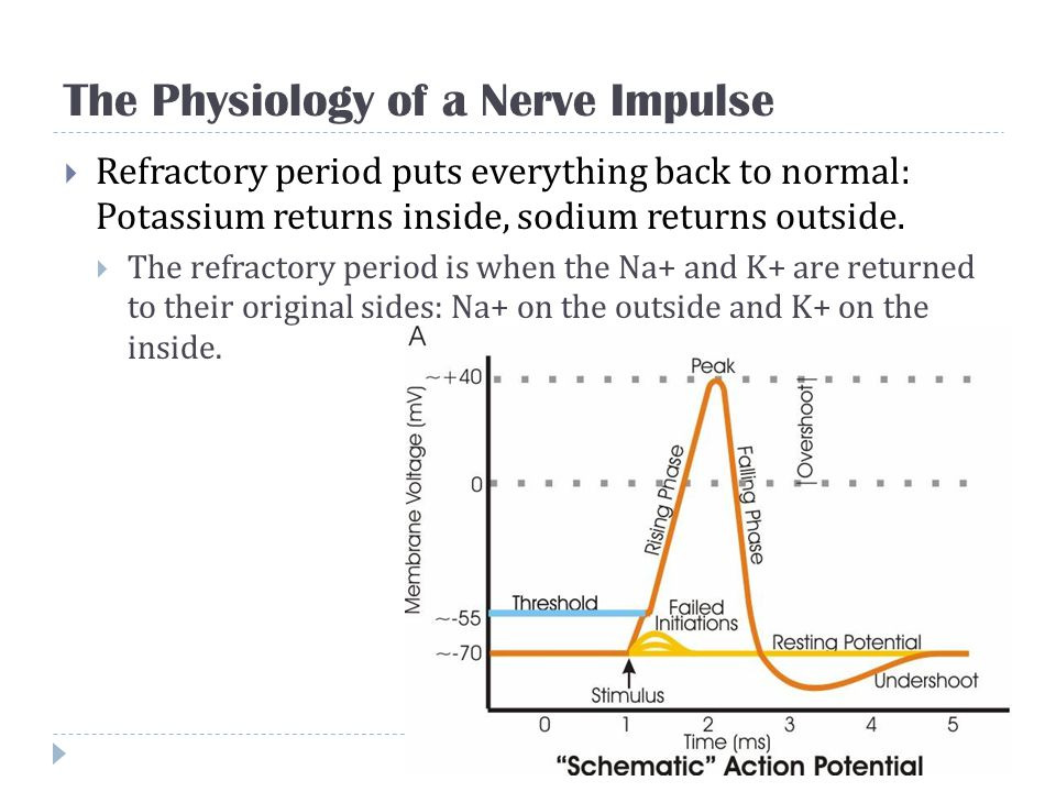 The Physiology of a Nerve Impulse