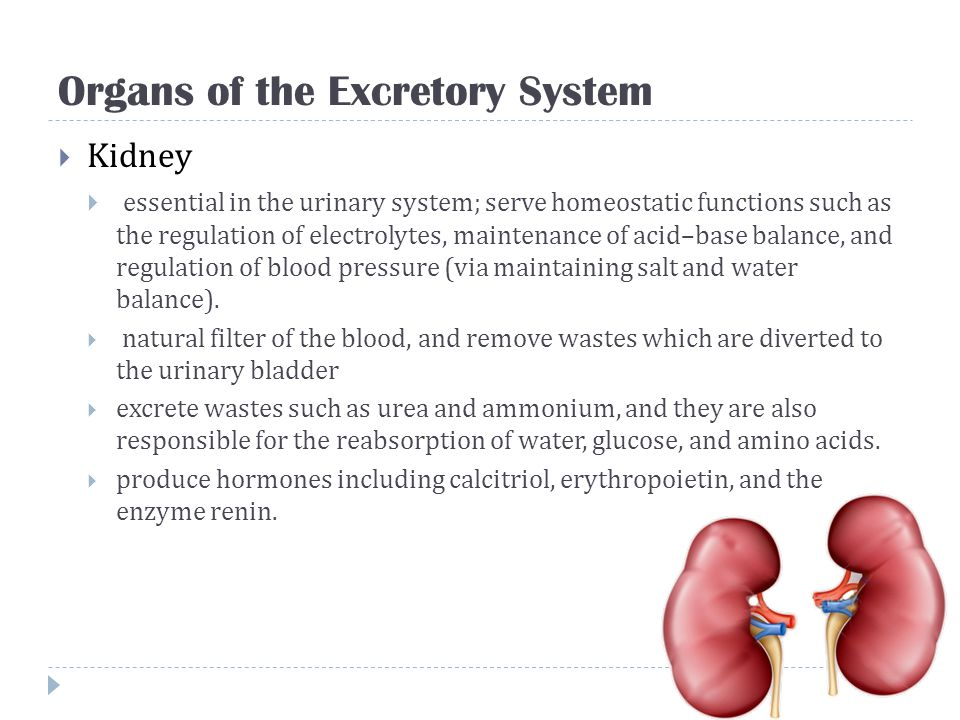 Organs of the Excretory System