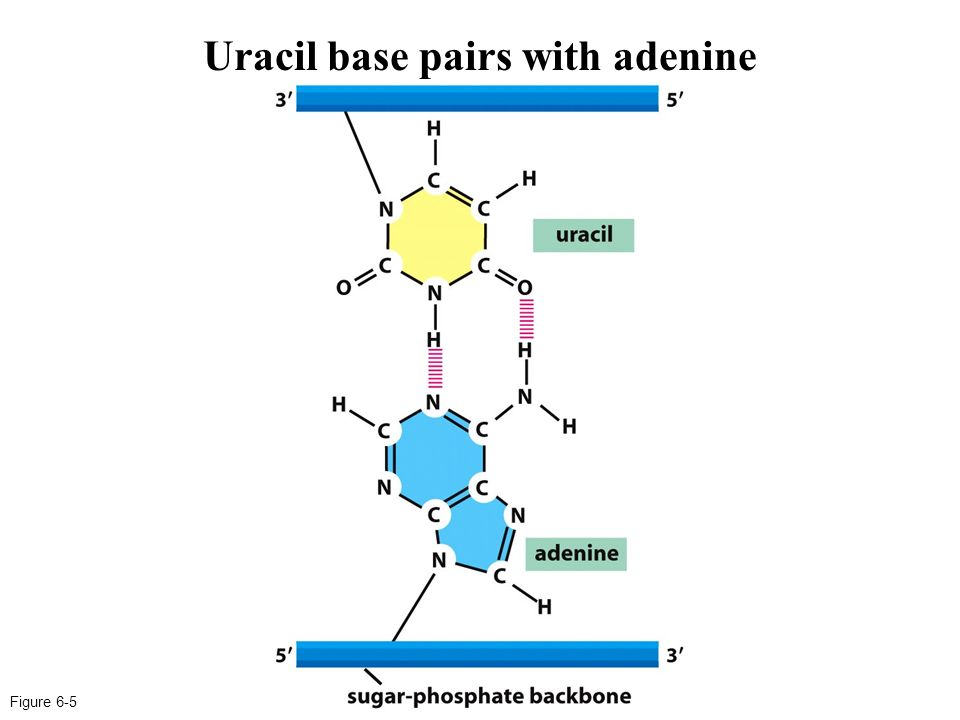 The gallery for --> Adenine And Uracil  The gallery for...