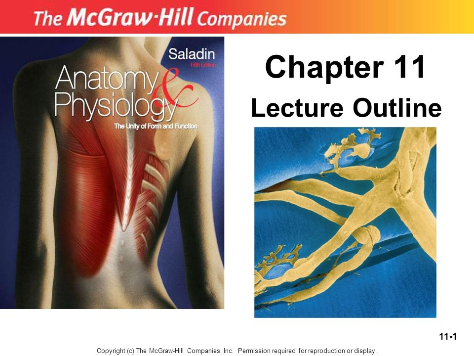 Tolle Anatomy And Physiology Chapter 11 Test Galerie - Anatomie und ...